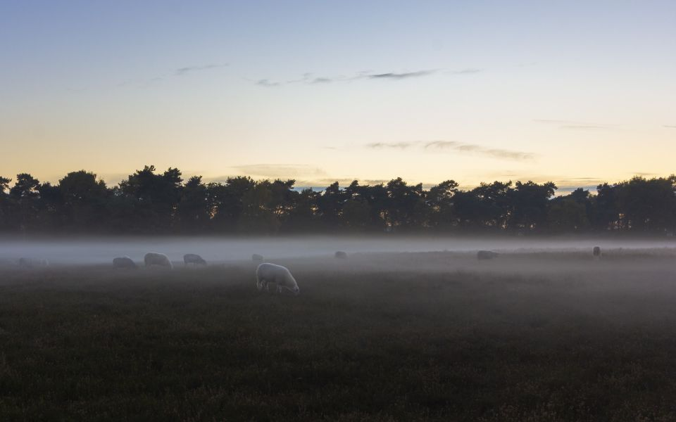 Hintergrundbild Westruper Heide - The Sheep