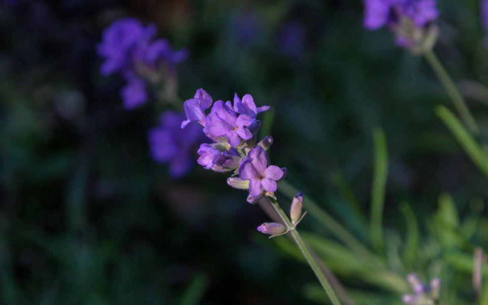 Hintergrundbild Lavendelblüte im Sommergarten