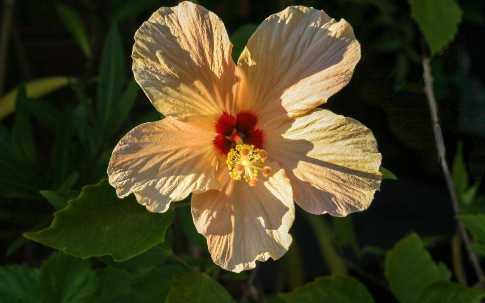 Hintergrundbild Orange Hibiskusblüte