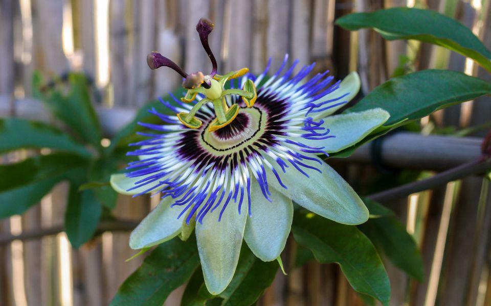 Hintergrundbild Passionsblume in voller Blüte