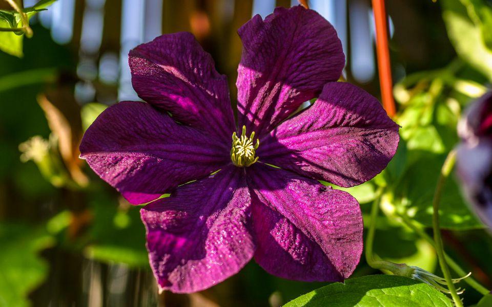 Hintergrundbild Violette Clematis am Morgen