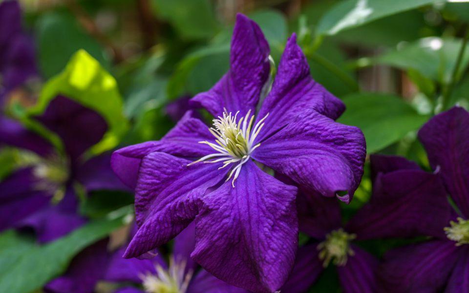 Hintergrundbild Wunderschöne Clematisblüte