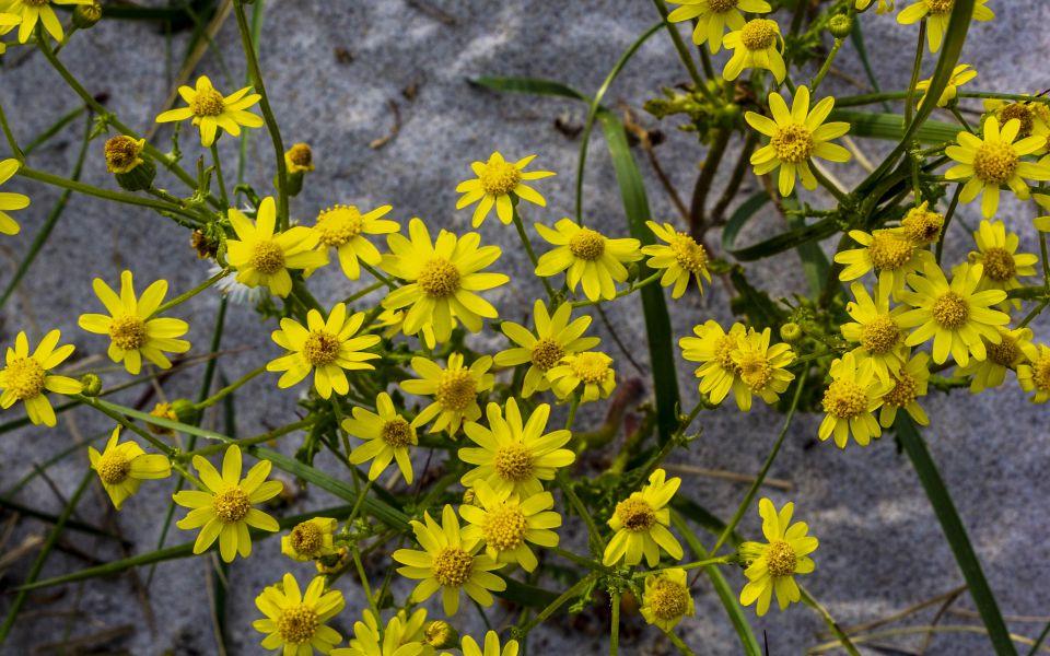 Hintergrundbild - Gelbe Blumen am Strand