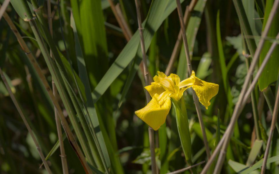 Hintergrundbild Gelbe Wasserschwertlilie