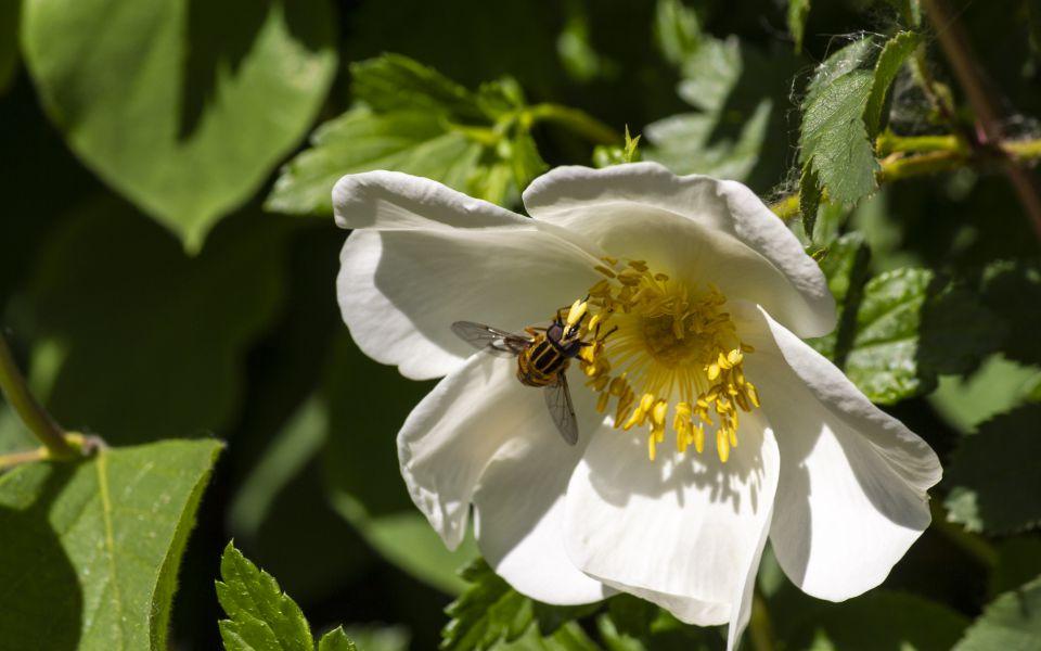 Hintergrundbild Schwebefliege auf einer Wildrose