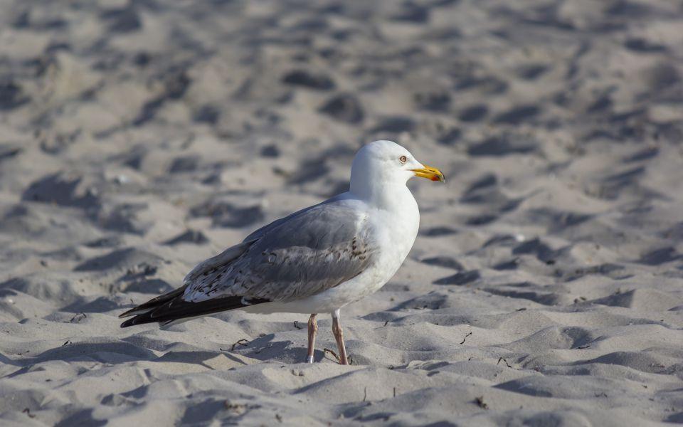 Hintergrundbild - Silbermöwe am Strand