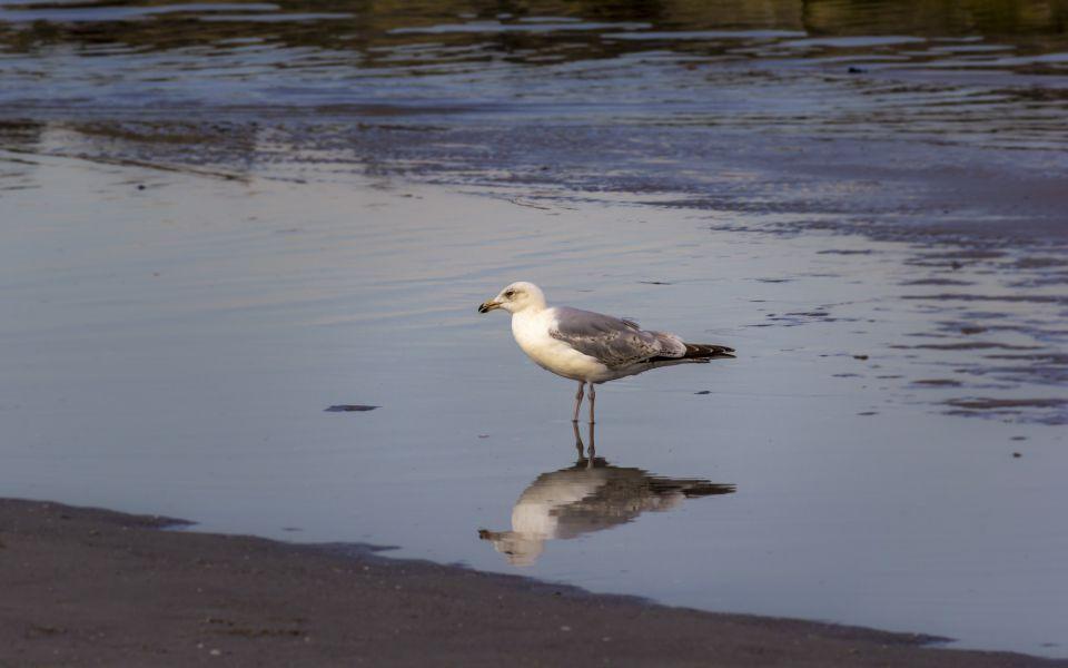Hintergrundbild - Silbermöwe im Wasser