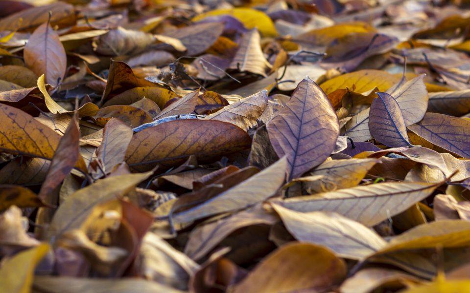 Hintergrundbild - Braunes Herbstlaub in Nahaufnahme