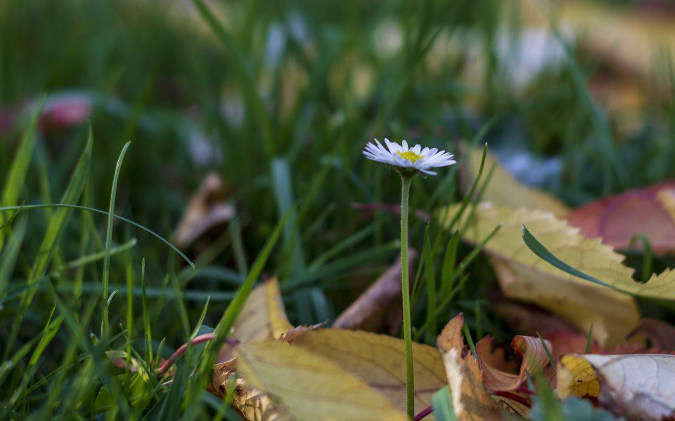 Hintergrundbild - Einsames Gänseblümchen