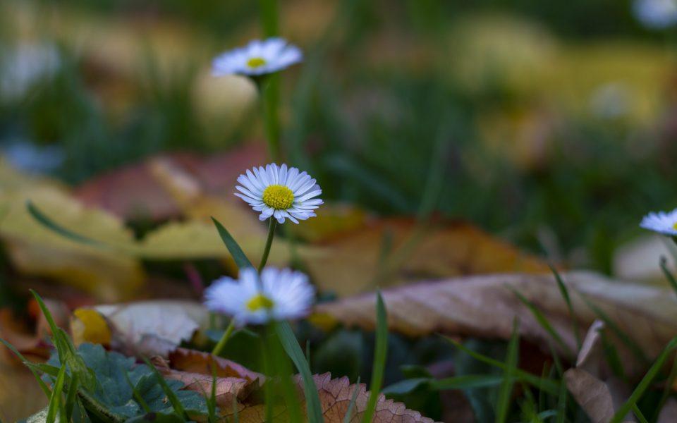 Hintergrundbild - Gänseblümchen zwischen Laub