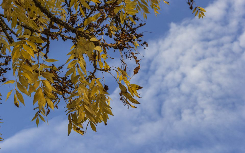 Hintergrundbild - Gelbe Blätter vor blauem Himmel