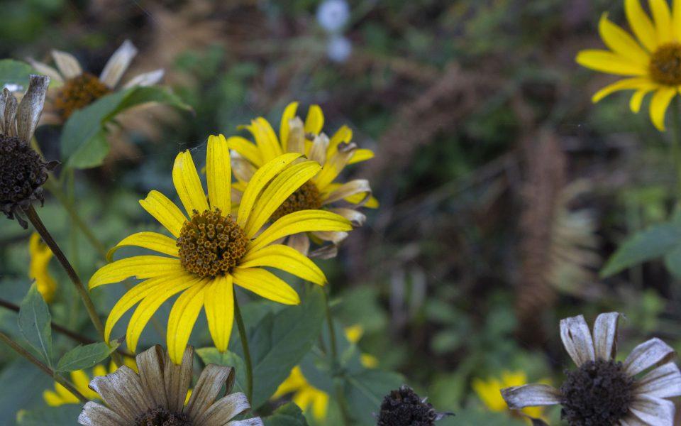 Hintergrundbild - Gelbe Blüten im Herbst
