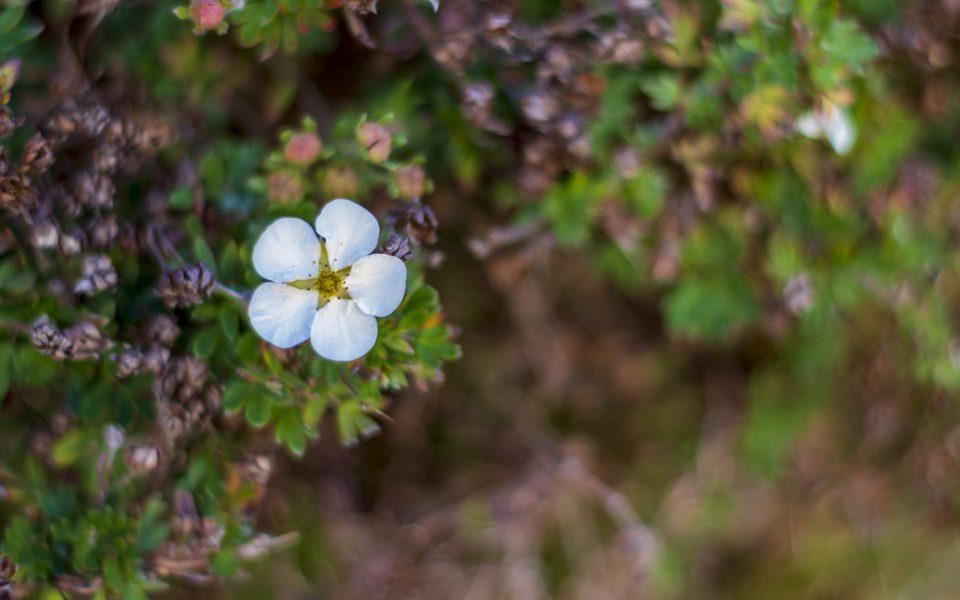 Hintergrundbild - Hübsche weiße Blüte