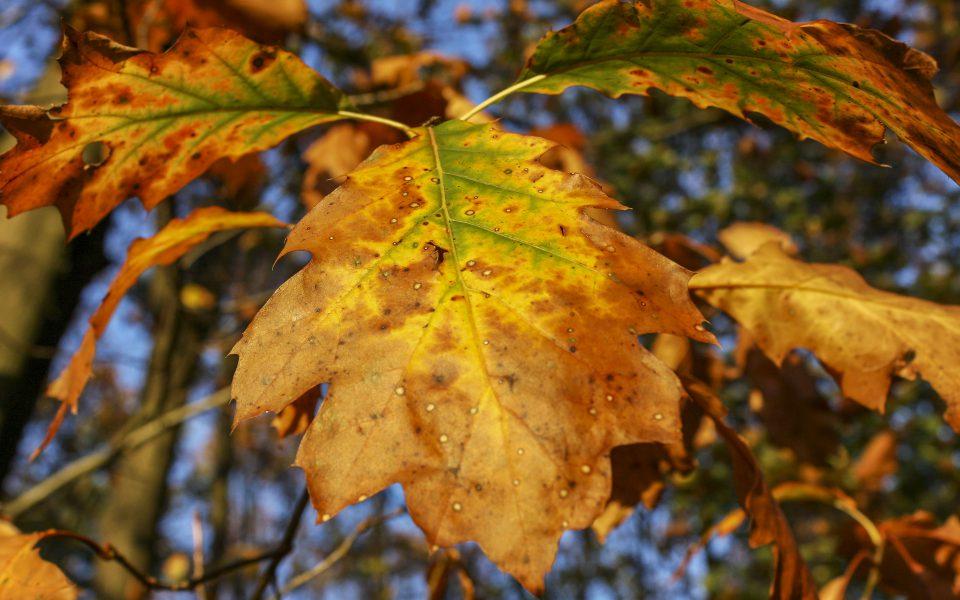 Hintergrundbild - Herbstliche Eichenblätter