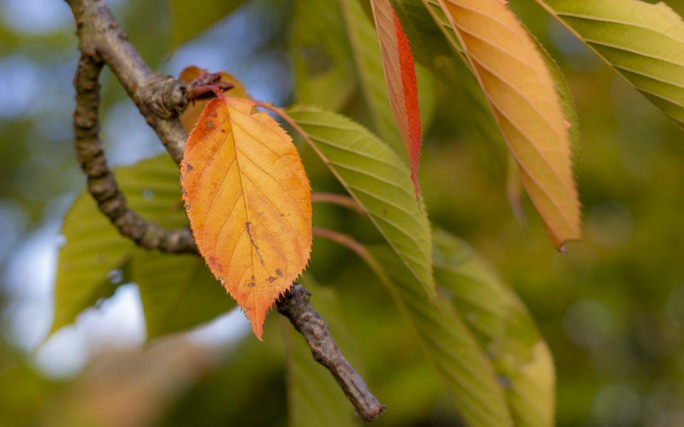Hintergrundbild - Oranges Blatt einer Zierkirsche