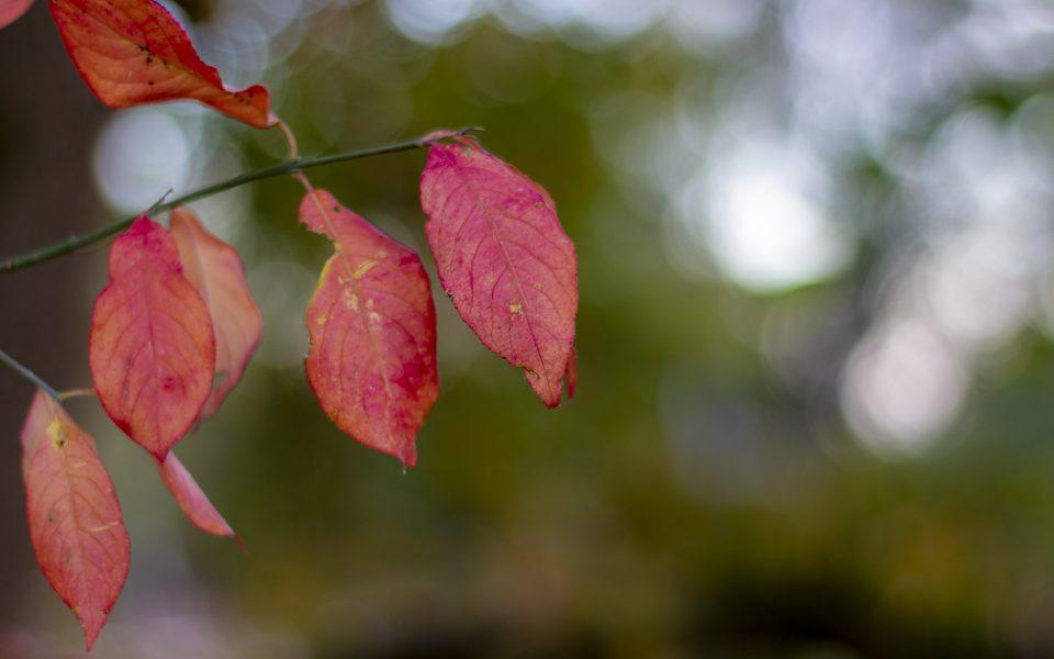 Hintergrundbild - Rote Blätter im Herbst