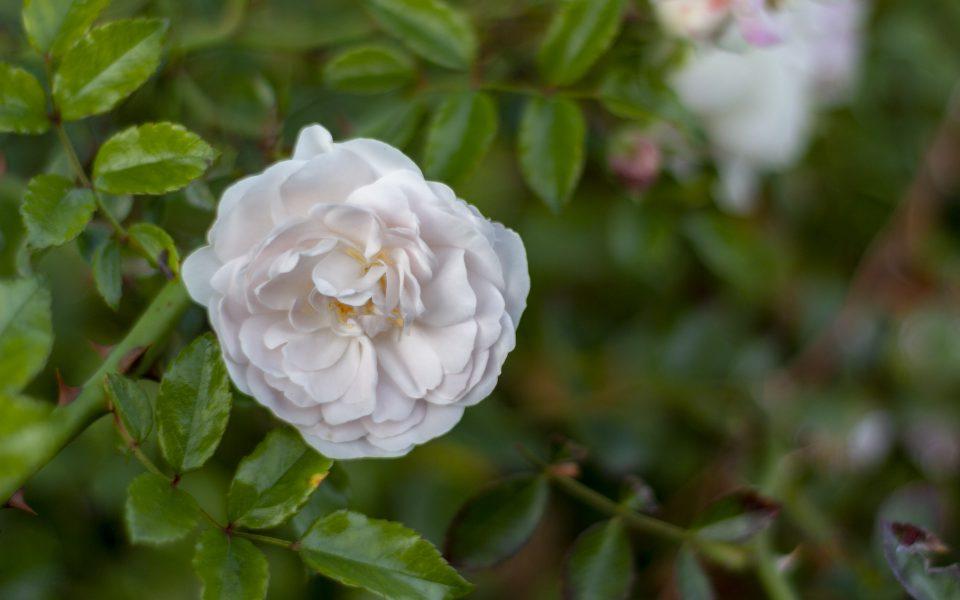 Hintergrundbild - Wilde weiße Rose