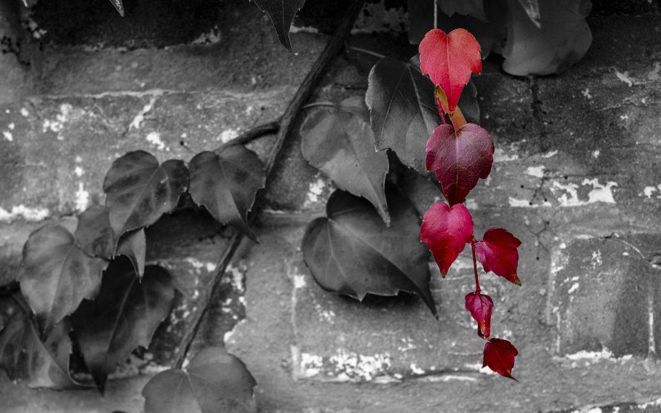 Hintergrundbild - Wilder Wein in rot