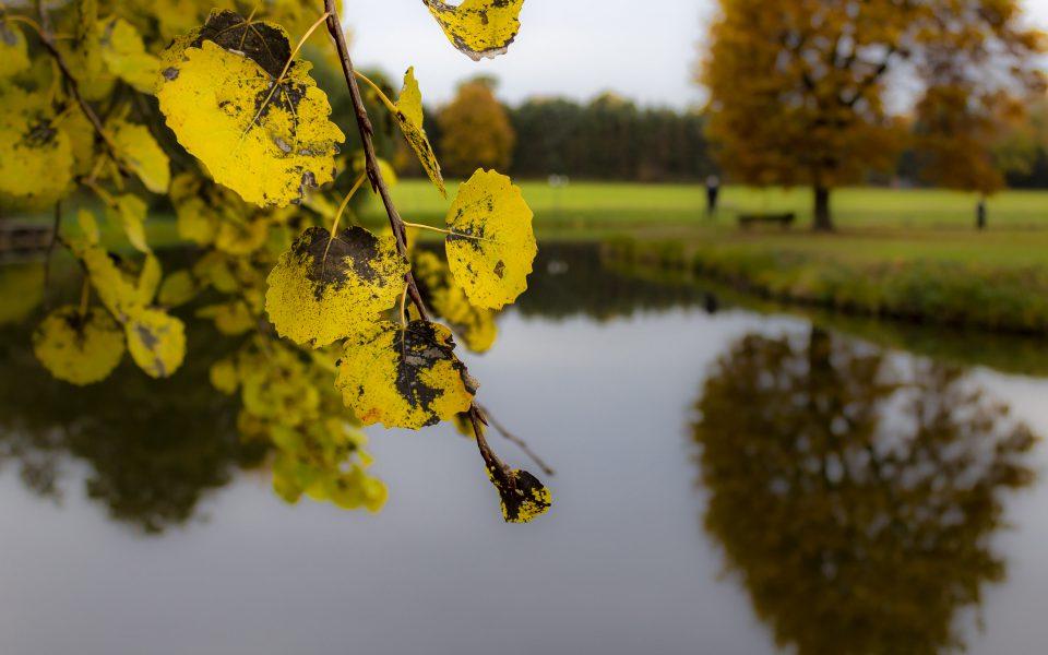 Hintergrundbild - Gelbe Blätter einer Erle