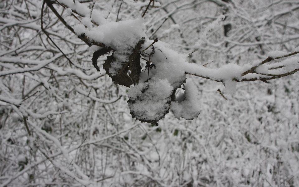 Hintergrundbild - Verschneite Blätter