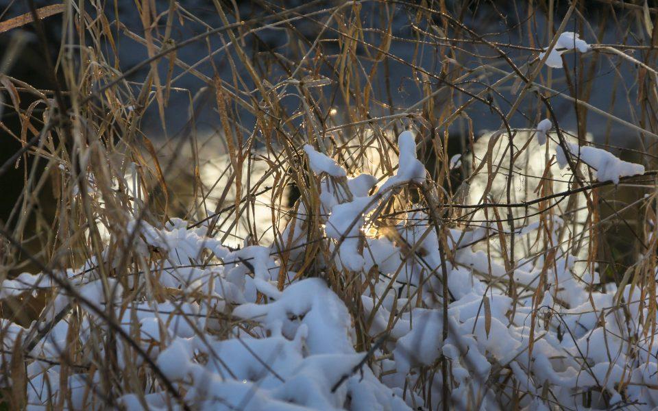 Hintergrundbild - Verschneite Gräser