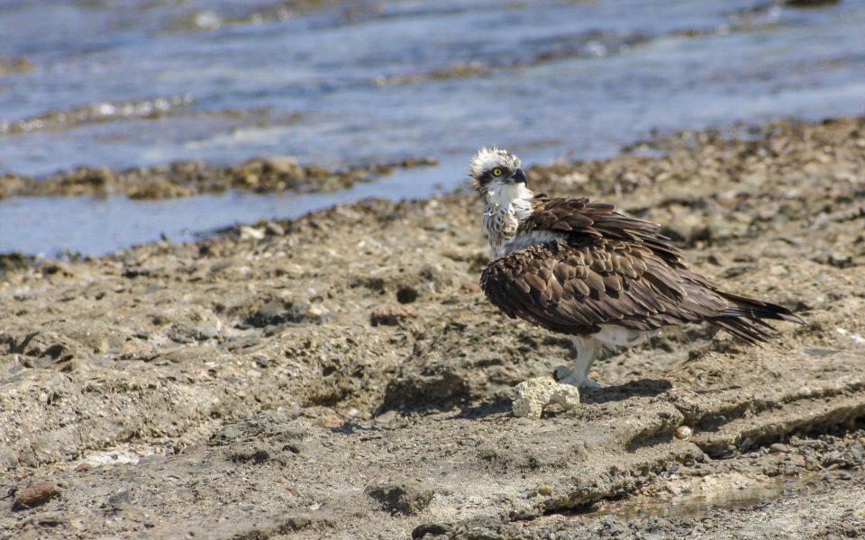 Hintergrundbilder - Fischadler in Marsa Alam
