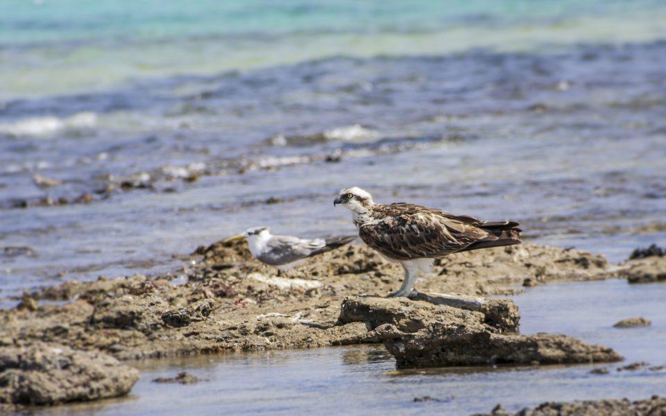 Hintergrundbilder - Fischadler und Möwe