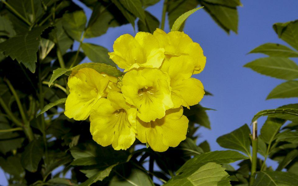 Hintergrundbilder - Große gelbe Blüte