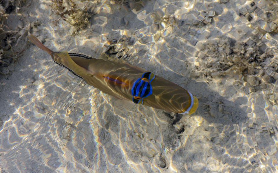 Hintergrundbilder - Picassofisch bei Ebbe