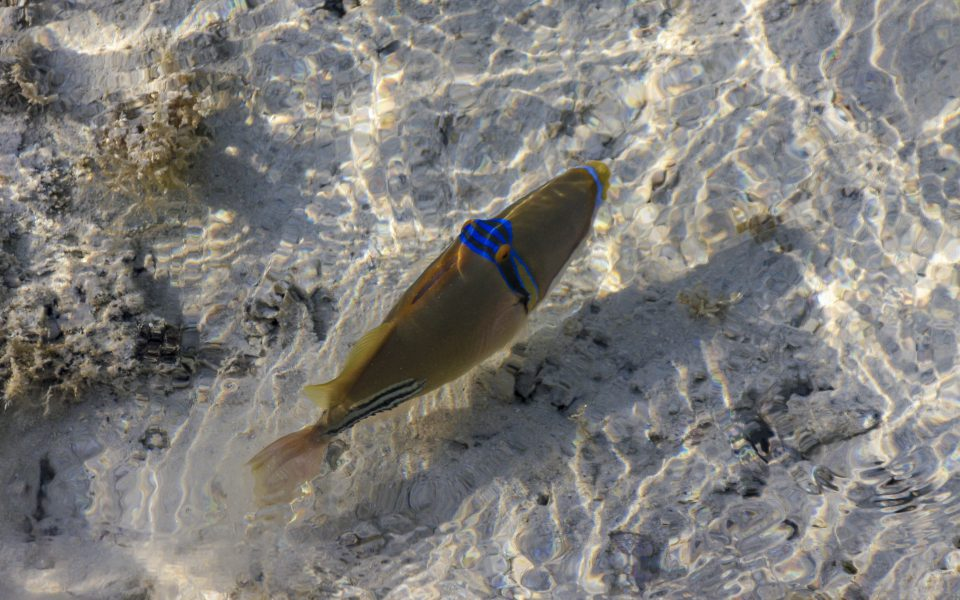 Hintergrundbilder - Picassofisch im Flachwasser
