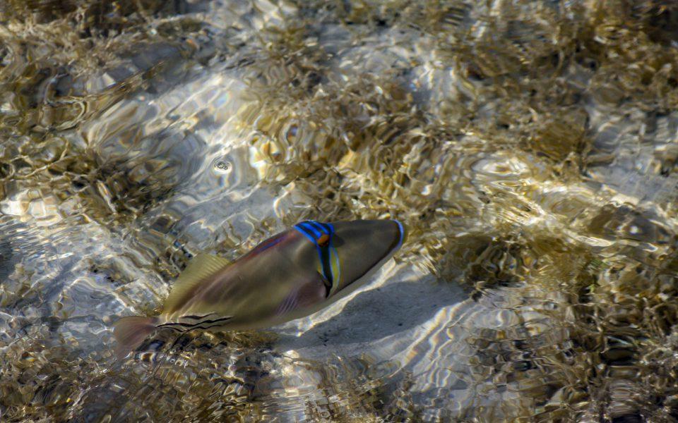 Hintergrundbilder - Picassofisch zwischen Algen