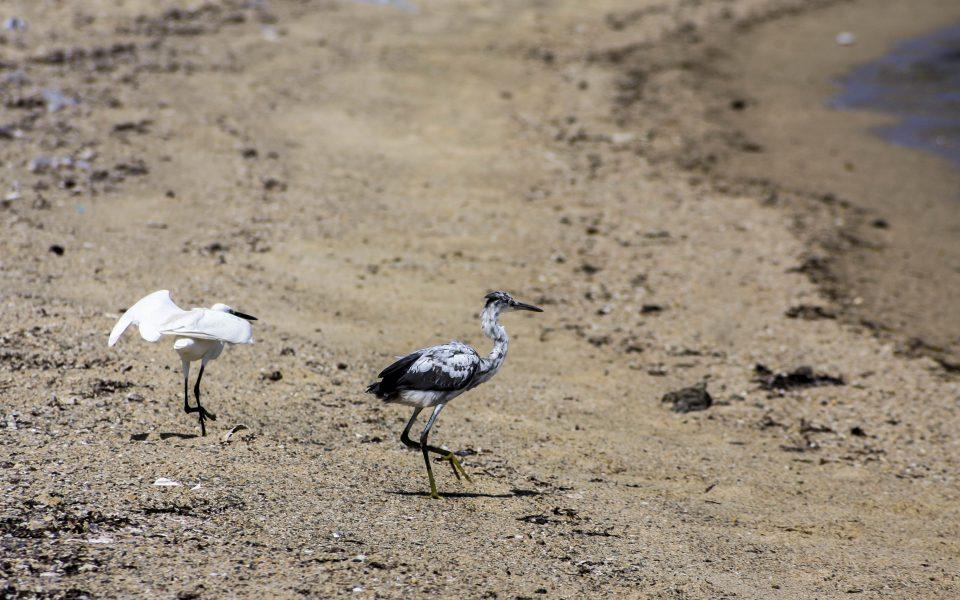 Hintergrundbilder - Zwei Reiher am Strand