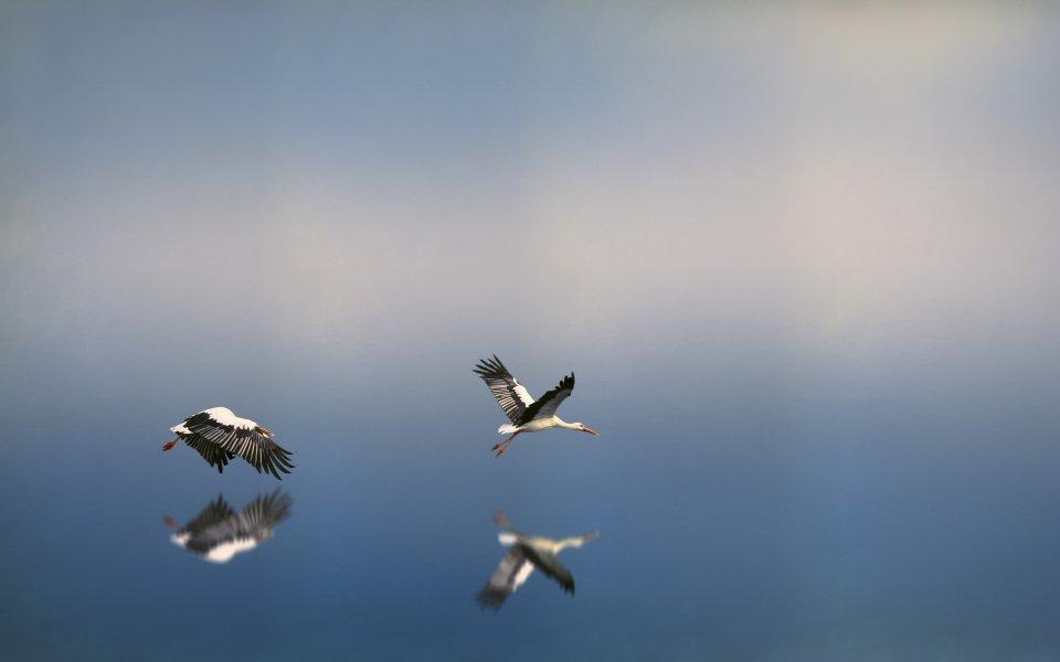 Hintergrundbilder - Störche über einem Gewässer