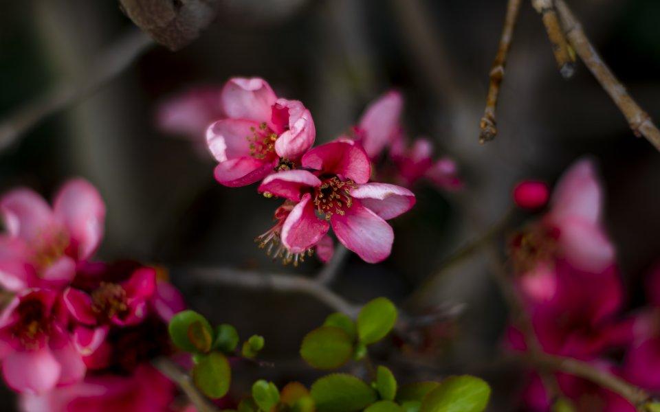 Hintergrundbilder - Blüten einer Zierquitte