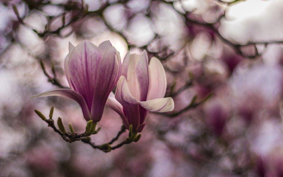 Hintergrundbilder - Magnolien im Abendlicht - Frühling 2019