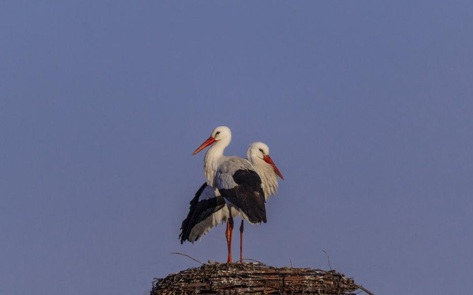Hintergrundbilder - Störche auf dem Nest