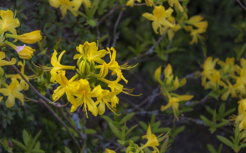 Hintergrundbilder - Gelbe Blüten Nahaufnahme