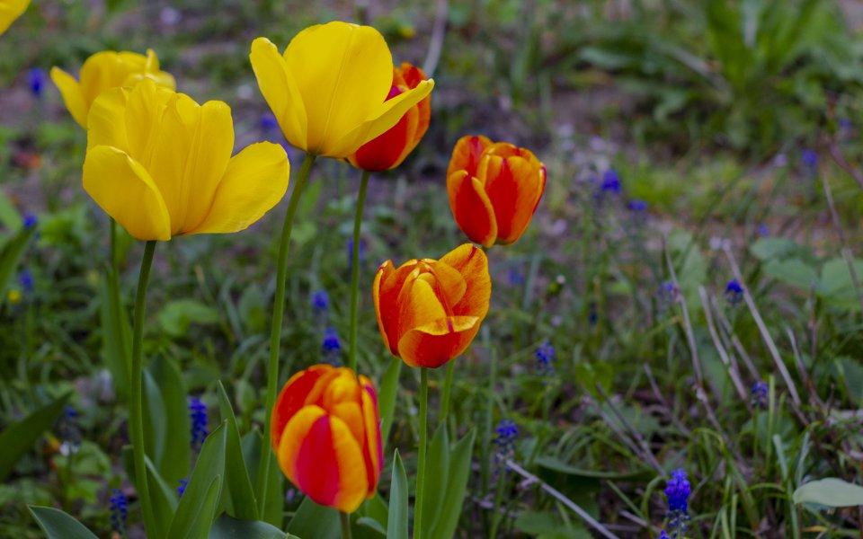 Hintergrundbilder - Gelbe und rote Tulpen