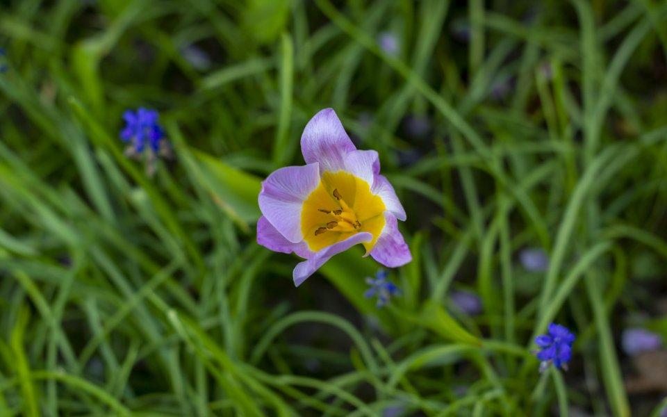 Hintergrundbilder - Kleine Tulpe im Gras