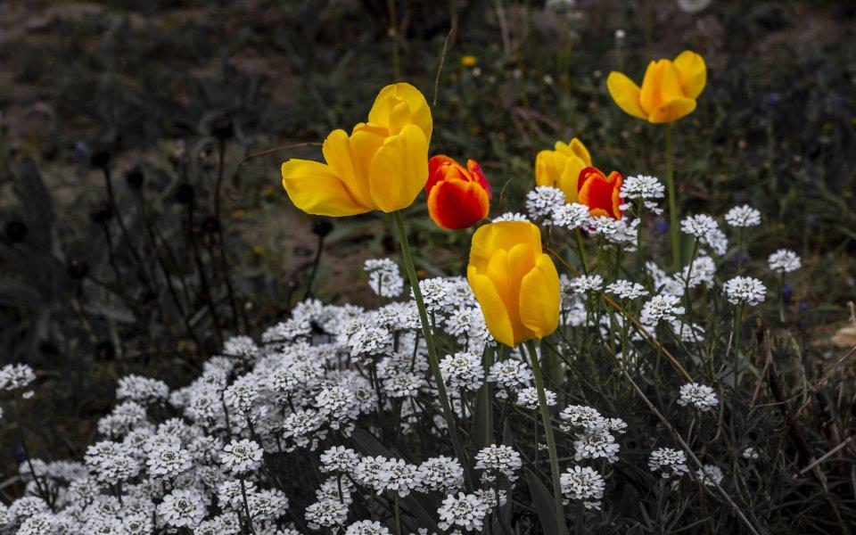 Hintergrundbilder - Tulpen in leuchtenden Farben