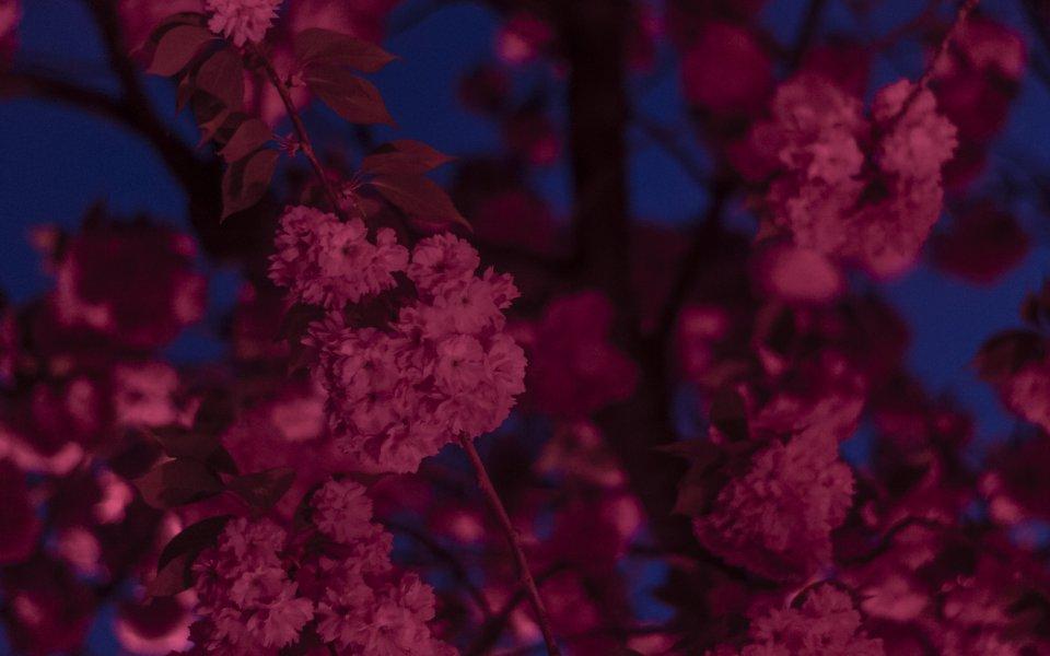 Hintergrundbilder - Wildkirschblüten bei Nacht
