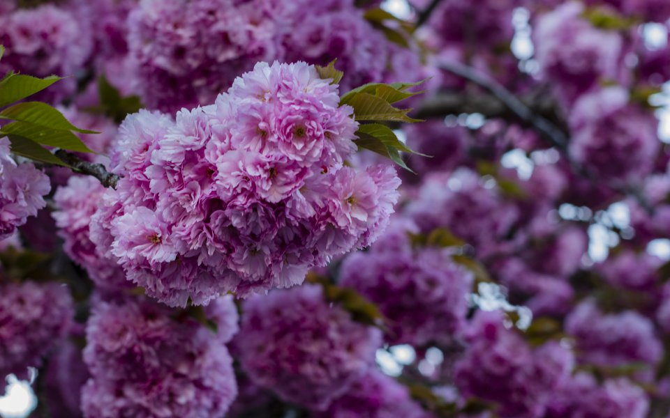 Hintergrundbilder - Wildkirschblüten von ganz nah