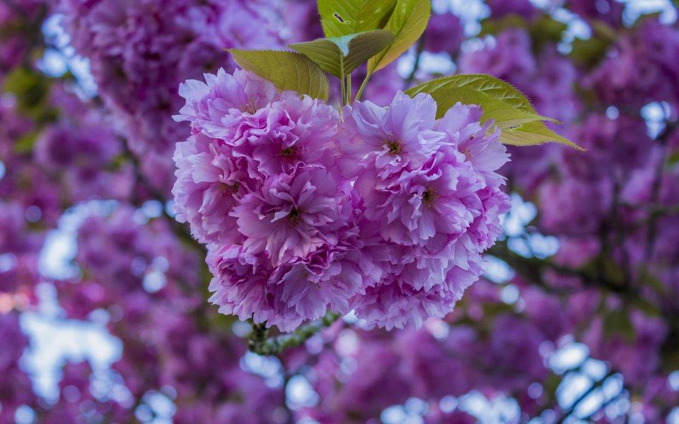 Hintergrundbilder - Wunderschöne Blüten einer Wildkirsche