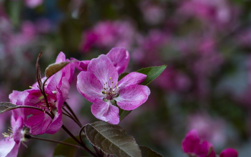 Hintergrundbilder - Wunderschöne rosa Blüte