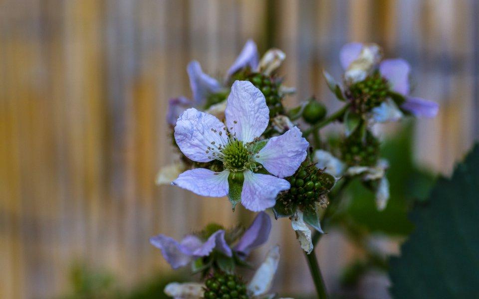Hintergrundbilder - Brombeerblüten