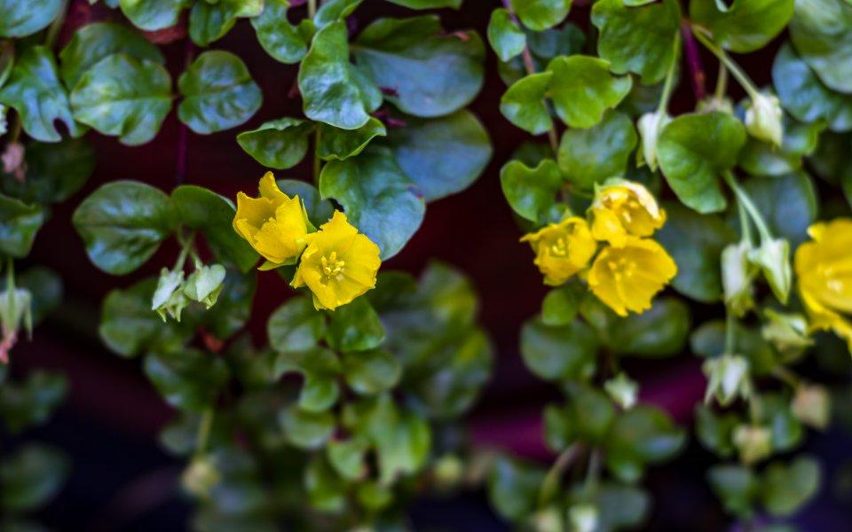 Hintergrundbilder - Gelbes Münzkraut Nahaufnahme